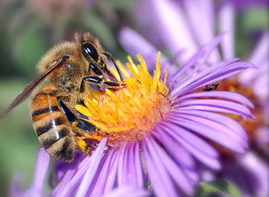 2014-06-26-honey_bee_nectar.jpg