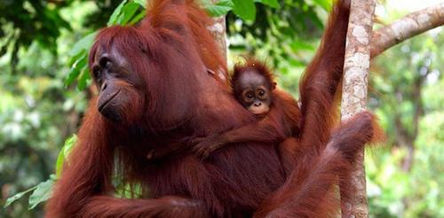 2014-06-28-orangutansborneoSourceWWFdeclinedbyhalfover60yrsccr231.png