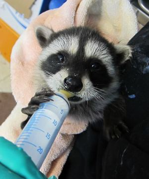 Orphaned baby raccoon being fed at WildCare. Photo by Alison Hermance