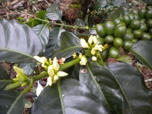 2014-07-01-Coffeebranchflowersandbeans.JPG