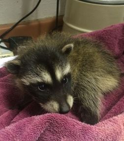 Orphaned raccoon being weighed at WildCare. Photo by Kate Lynch