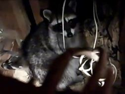 Mother raccoon and kit in an under-house den space. This little family was allowed to grow up and leave on their own, then the den site was sealed to prevent re-entry. Photo by Alison Hermance