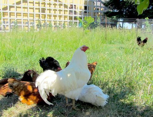 2014-07-02-quivira_chickens.JPG