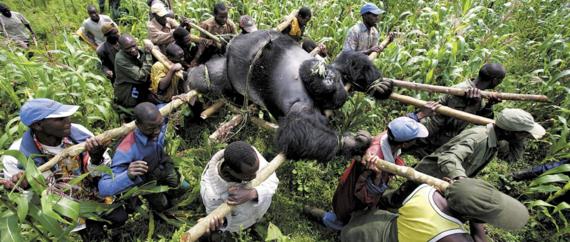 Gorillas Fight Back Against Loathsome Poachers | HuffPost