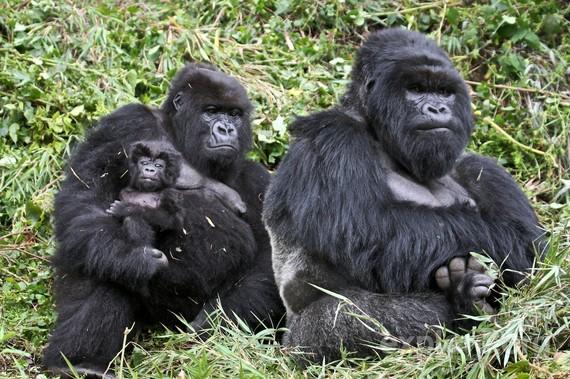 2014-07-06-GorillasEarthDrReeseHalter
