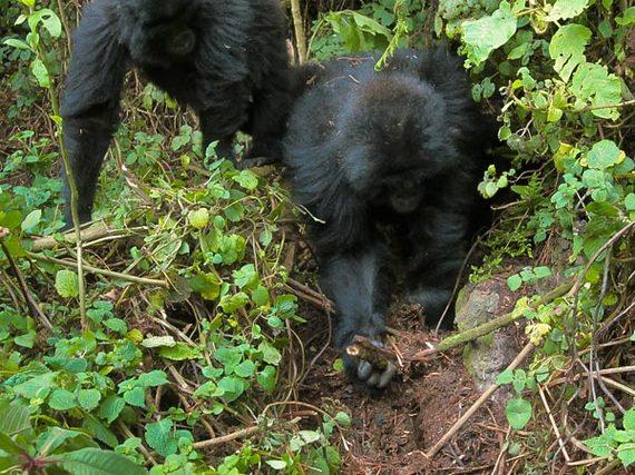 2014-07-06-GorillasUndoingPoacherSnaresEarthDrReeseHalter