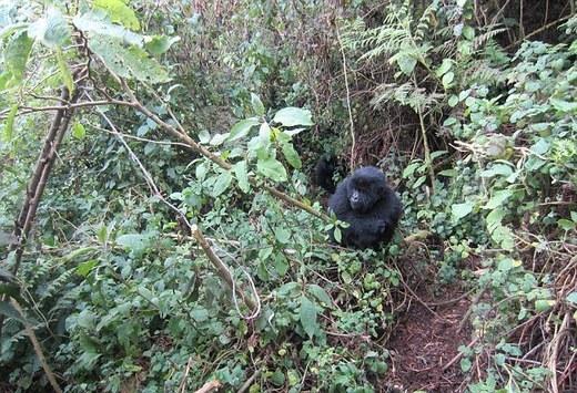 2014-07-06-GorillasfightingbackagainstpoachersEarthDrReeseHalter