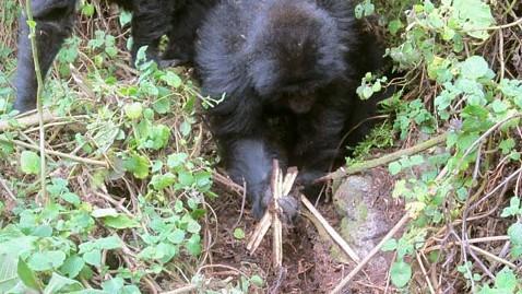 2014-07-06-GorillaundoingSnareEarthDrReeseHalter