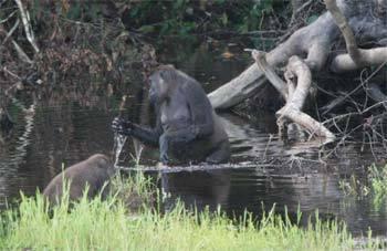 2014-07-07-GorillasusingtoolsEarthDrReeseHalter