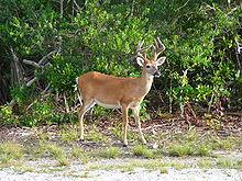 2014-07-08-220pxKey_deer_male.jpg
