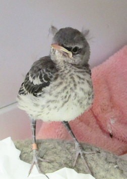 Baby Mockingbird at WildCare. Photo by Alison Hermance