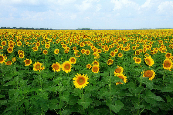 2014-07-11-sunflowers.jpg