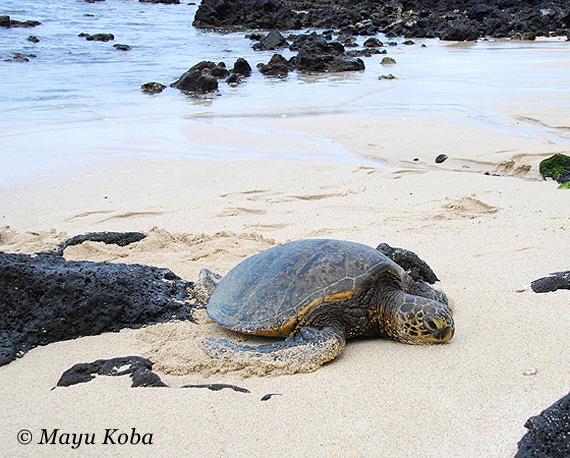 ハワイ島はウミガメ天国! ウミガメと泳げるビーチ