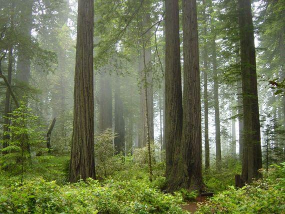 2014-07-17-Redwood_National_Park_fog_in_the_forest.jpg