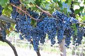 2014-07-19-grapes.jpg
