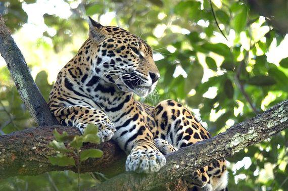 2014-07-21-JaguarinBelize.jpeg