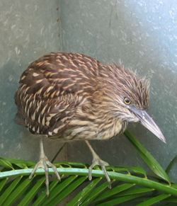 Black-crowned Night Heron chick at WildCare. Photo by Alison Hermance