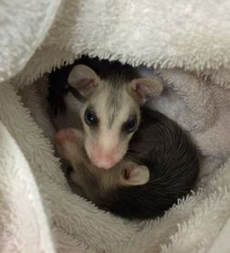 Orphaned opossums at WildCare. Photo by Kate Lynch
