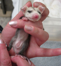 Showing this young opossum's marsupium. Photo by Alison Hermance