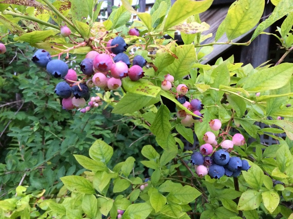 2014-07-31-blueberries.jpg