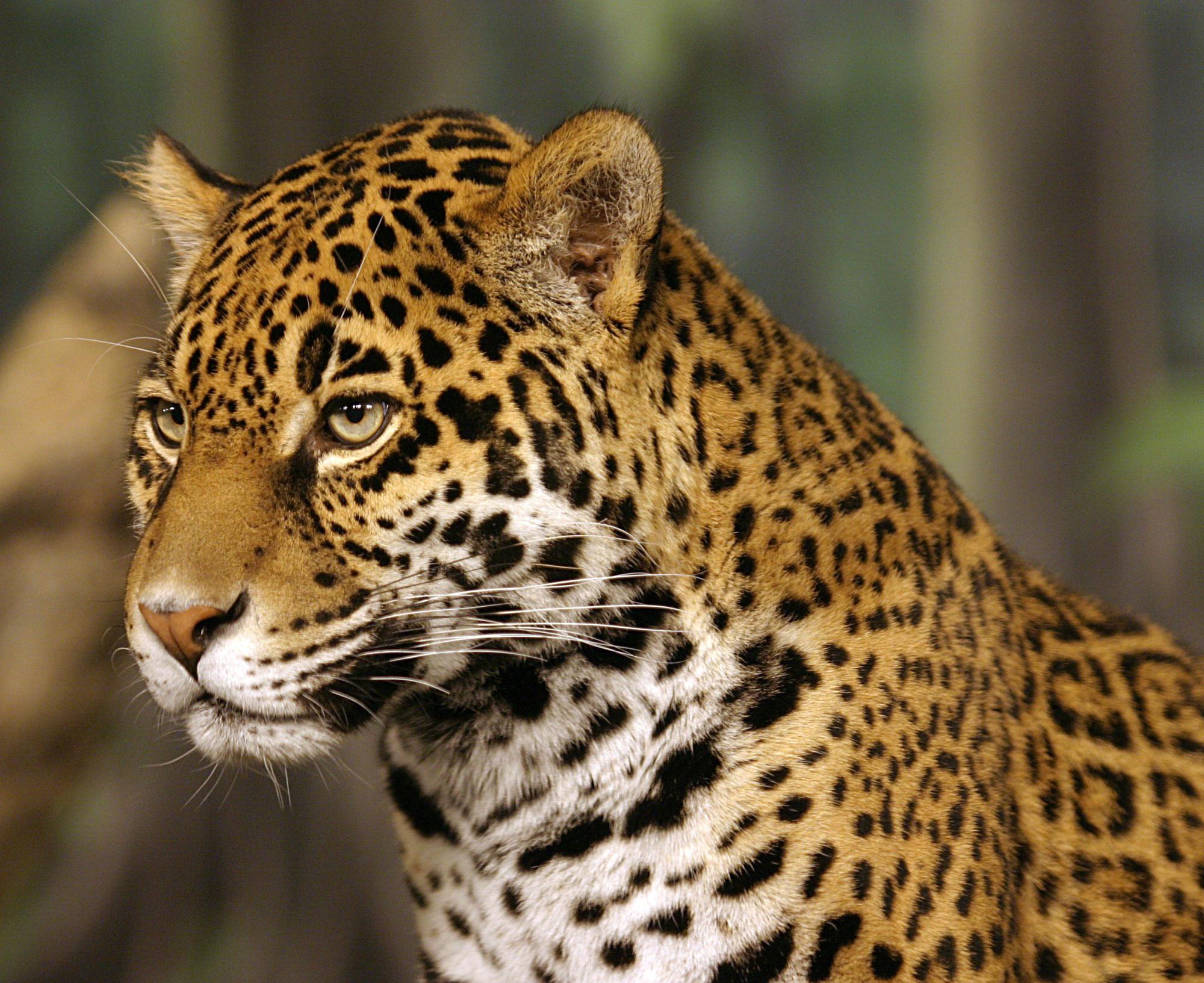 Jaguarinamazonwikipedia