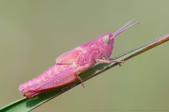 2014-08-03-grasshopper_pink.jpg