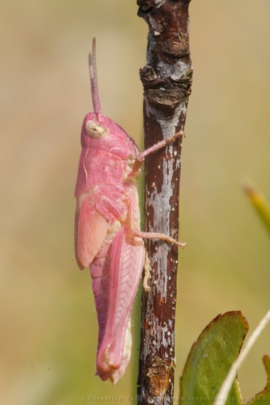 2014-08-03-pink_grashopper_nymph.jpg