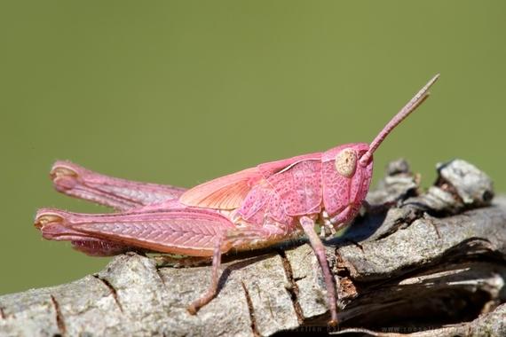 2014-08-03-pink_grasshopper.jpg