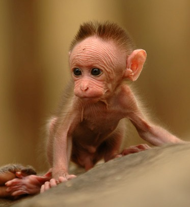 baby-monkey abuse fundedyour tax dollars | huffpost