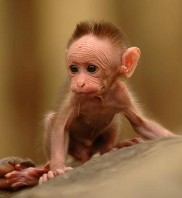 2014-08-05-Baby_bonnet_macaque.jpg