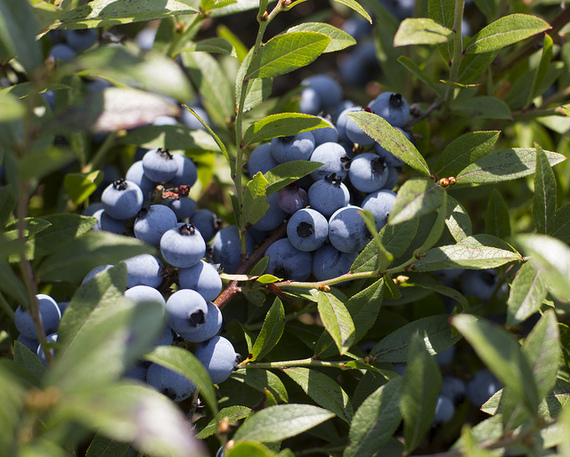Who Grows Our Food: Wild Blueberries, Honeybees And Wymans Of Maine