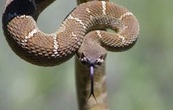 Rattlesnake. WildCare photo by Dana Terry