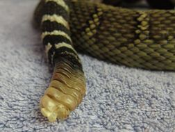 A rattlesnake's rattle. Photo by Alison Hermance