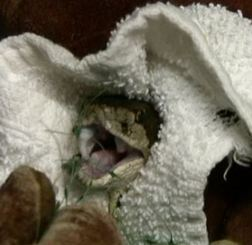 this rattlesnake has garden netting even in his mouth. Photo by Alison Hermance