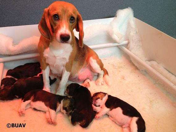 2014-08-07-BUAV_copyright_beagle_mum_pups_taken_away_for_testing_inside_UK_lab.jpg