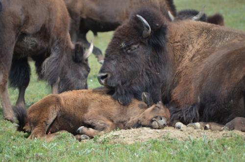 2014-08-07-huff_buffalo_two.jpg