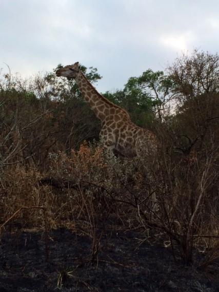 2014-08-08-giraffe.jpeg