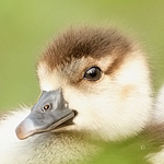 2014-08-09-baby_geese_face.jpg