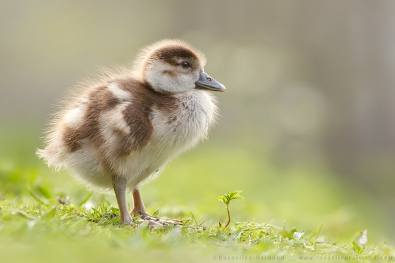 2014-08-09-goose_young.jpg
