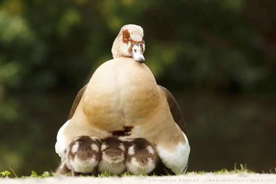 2014-08-09-goose_youngsters.jpg