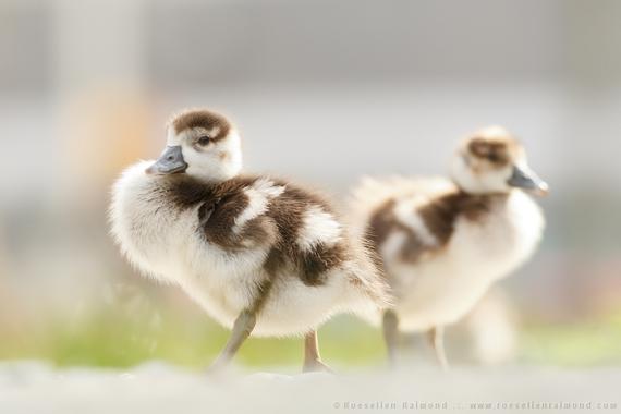 2014-08-09-goslings.jpg