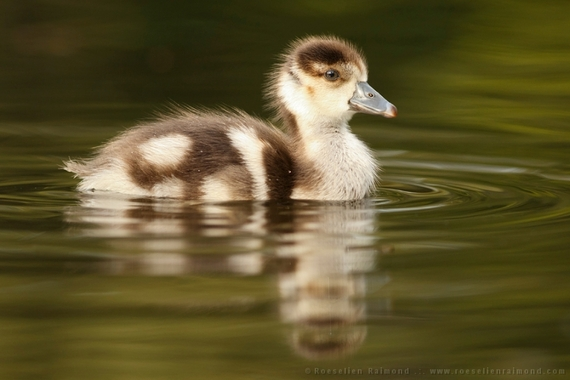2014-08-09-swimming_gosling.jpg