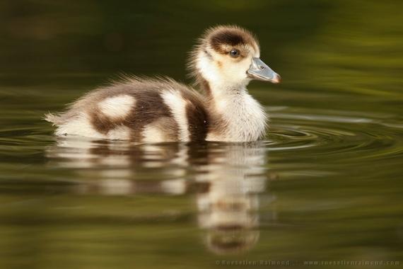 2014-08-09-swimming_gosling.jpg