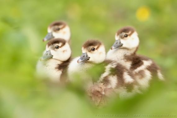 2014-08-10-baby_geese.jpg