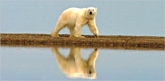 2014-08-11-AlaskanPolarBearEarthDrReeseHalter