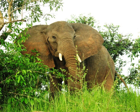 2014-08-12-JulieLarsenMaher_1486_AfricanElephantinwild_UGA_062810_hrcropped.jpg