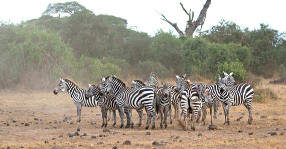 2014-08-12-zebras.jpg