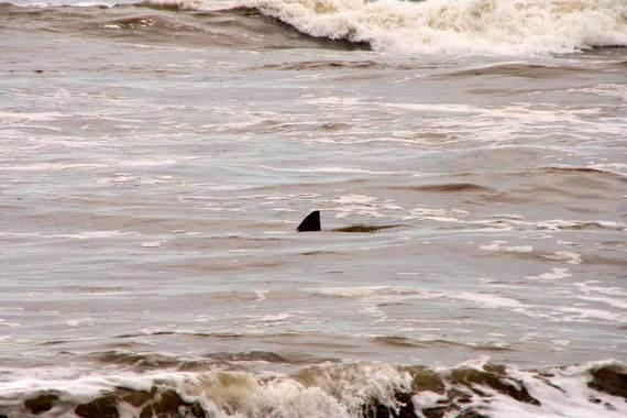 2014-08-13-sharkfinsshallowwaterphotochristianhaugen.jpg