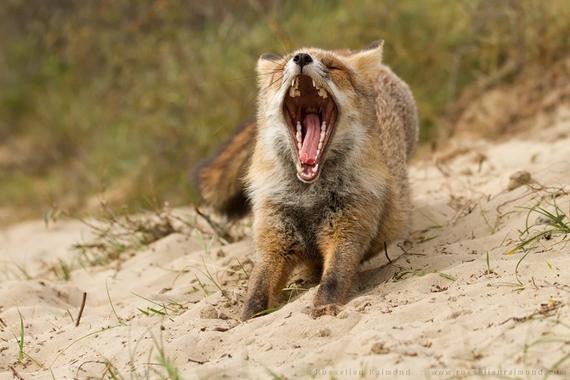 2014-08-14-fox_mouth_open.jpg