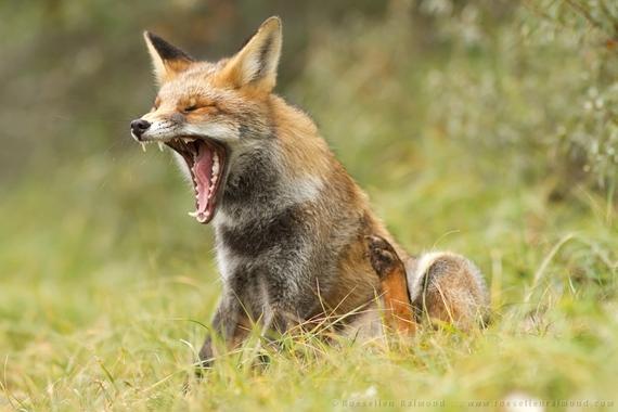 2014-08-14-lazy_fox.jpg